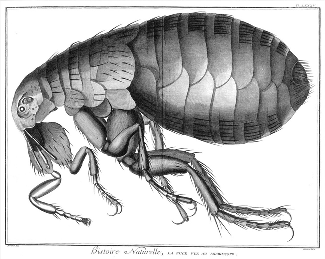 Flea seen through microscope